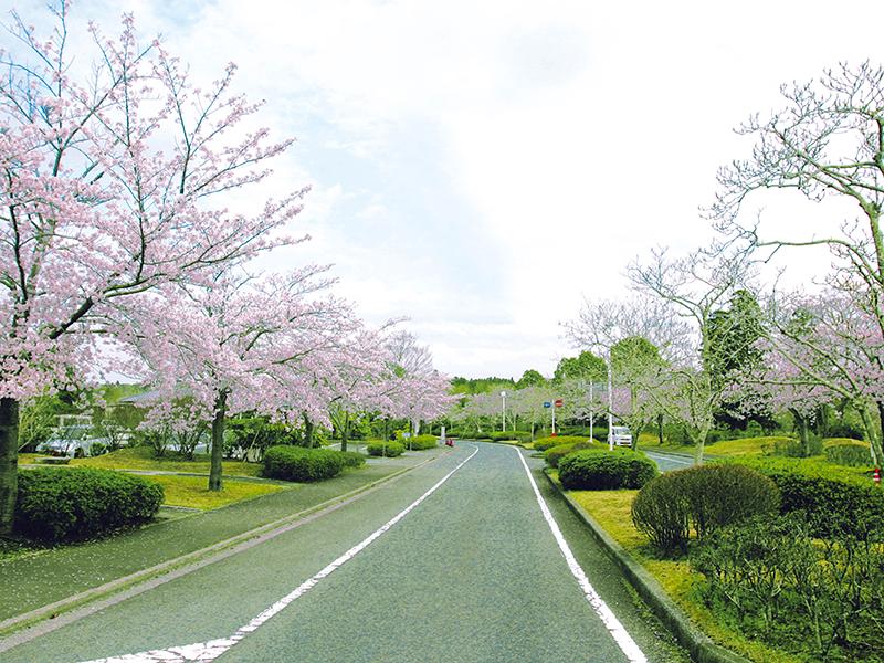 桜満開の園内の道路